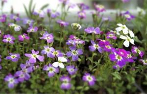 Die ersten Blüten der Reichenauer Blumenwiese